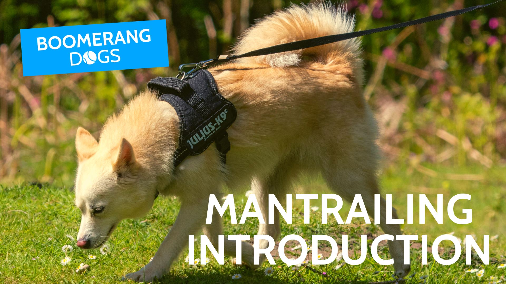Mantrailing Introduction Course